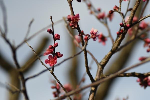 梅林園の紅梅15