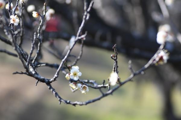 梅林園の白梅4
