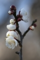 梅林園の白梅5