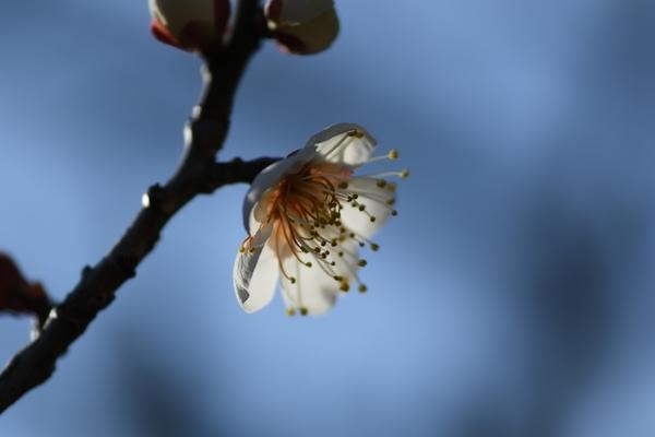 梅林園の白梅14