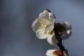梅林園の白梅7