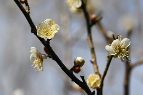梅林園の白梅12