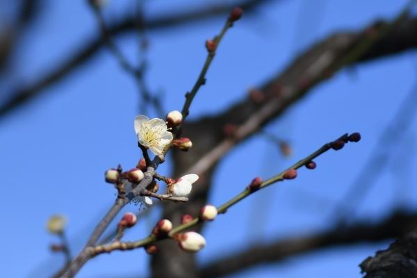 梅林園の白梅11