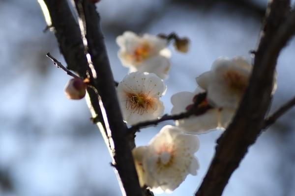梅林園の白梅10