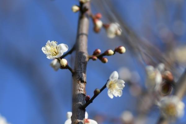 梅林園の白梅9