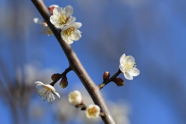 梅林園の白梅8