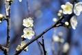 梅林園の白梅