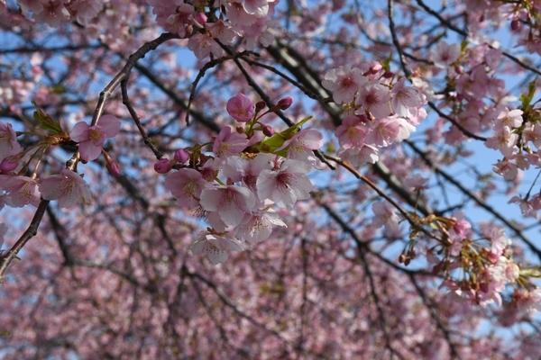 八千代新川千本桜