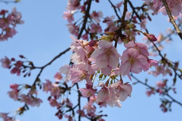 八千代新川千本桜3