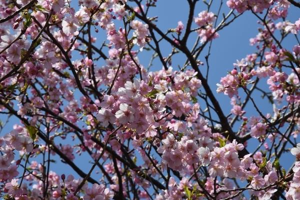 八千代新川千本桜2
