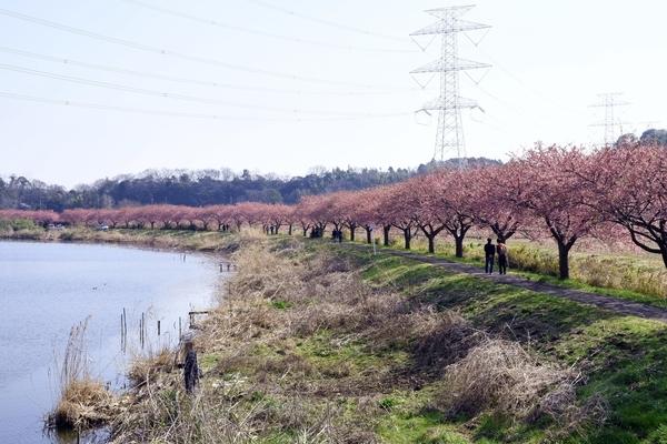 八千代新川千本桜1