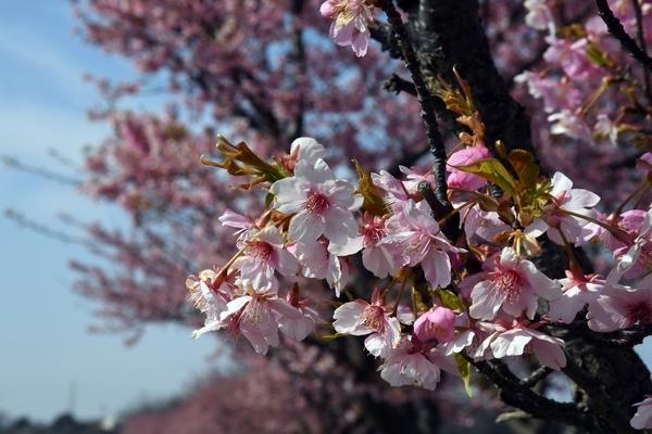 八千代新川千本桜4