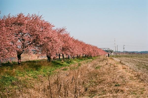 F3で撮った八千代新川千本桜1