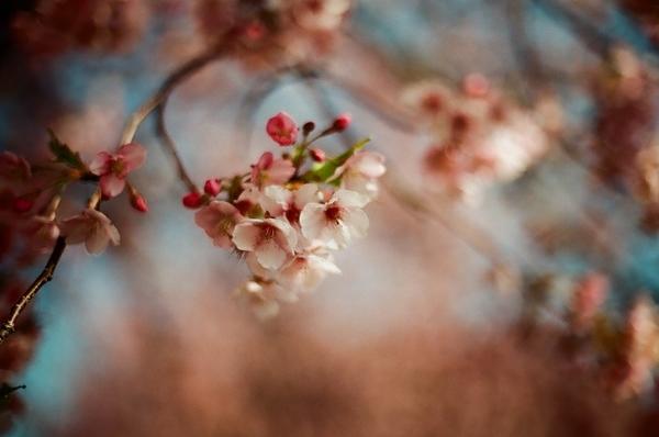 F3で撮った八千代新川千本桜5