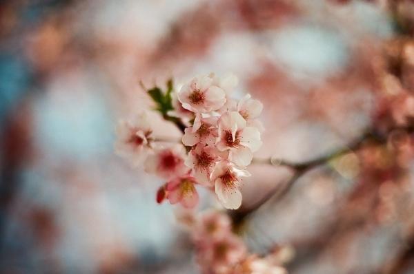 F3で撮った八千代新川千本桜3