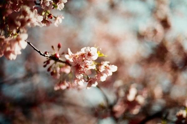 F3で撮った八千代新川千本桜7
