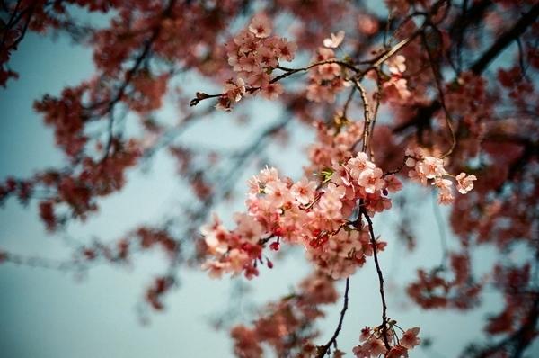 F3で撮った八千代新川千本桜6
