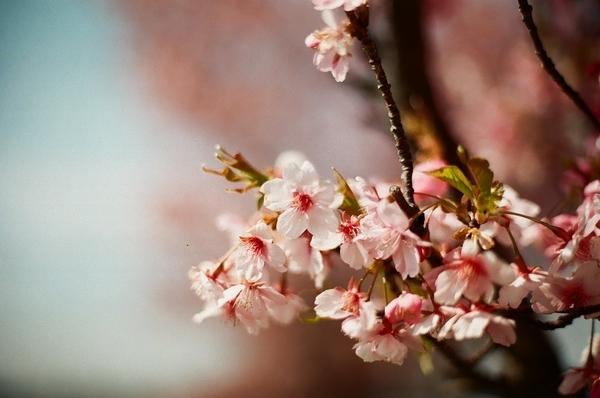 F3で撮った八千代新川千本桜9