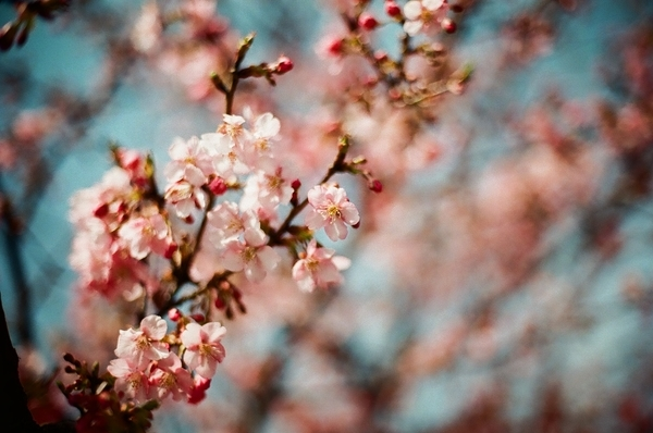 F3で撮った八千代新川千本桜8
