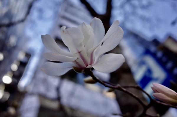 江戸通りのコブシ