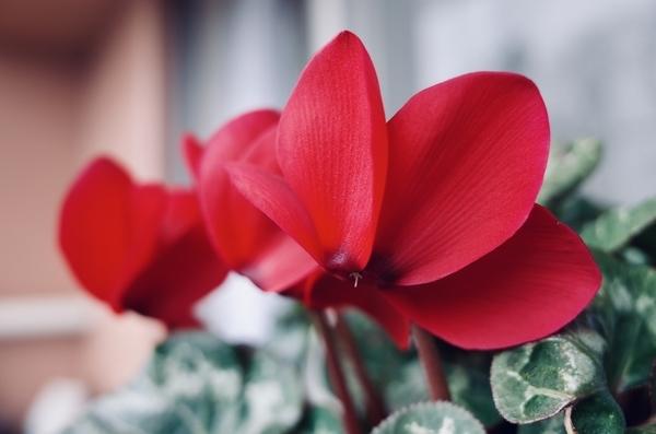 赤いシクラメン