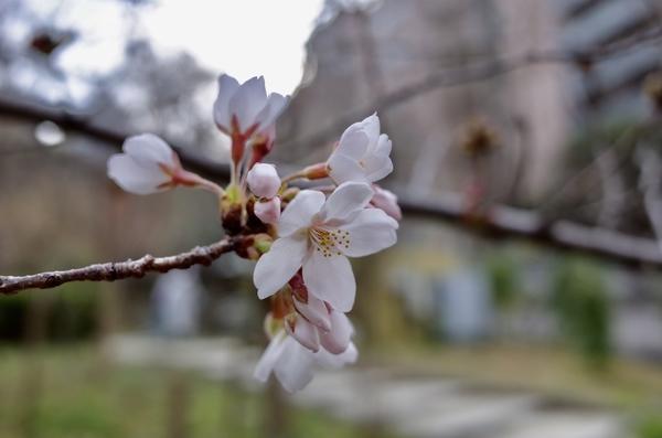 清水谷公園のソメイヨシノ
