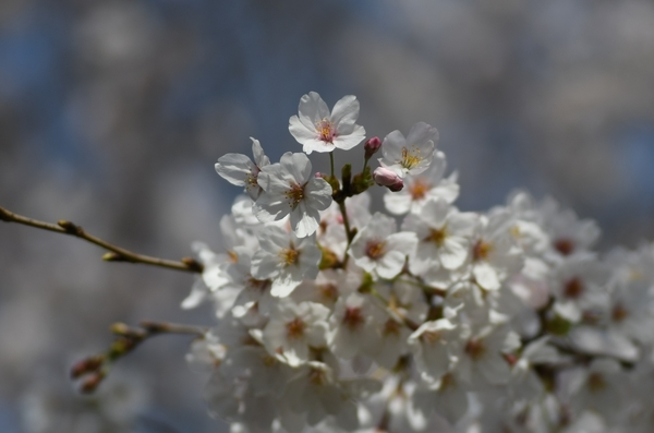 ソメイヨシノ20200322