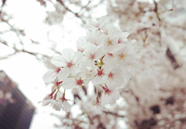雨に濡れた銀座の桜