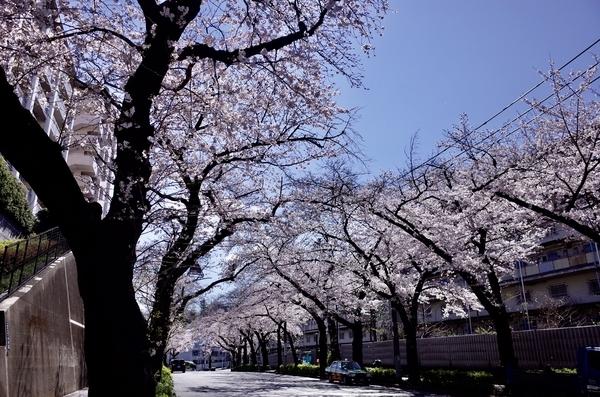 赤羽の桜並木