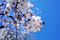 東八ツ山公園の桜