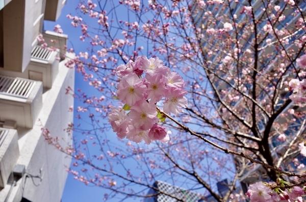 八重桜も咲き出した