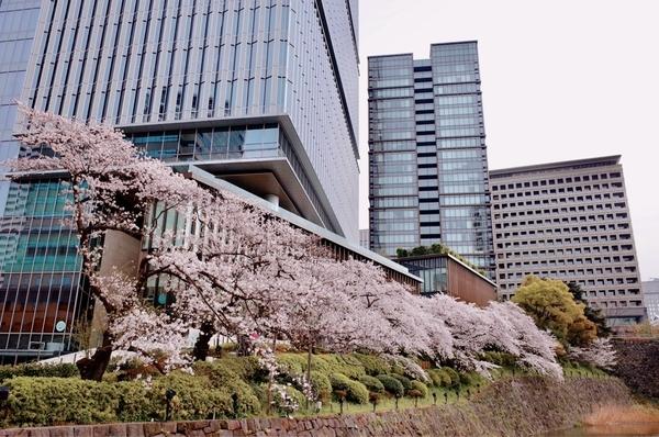 東京ガーデンテラス紀尾井町のソメイヨシノ