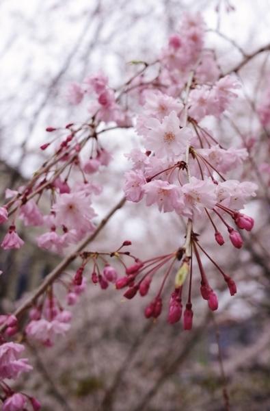 清水谷公園の枝垂桜