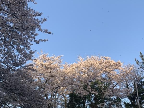 朝日を浴びる藤崎森林公園のソメイヨシノ