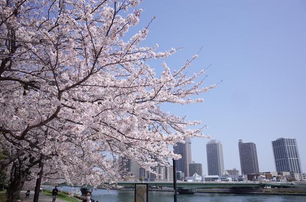 隅田川のソメイヨシノ