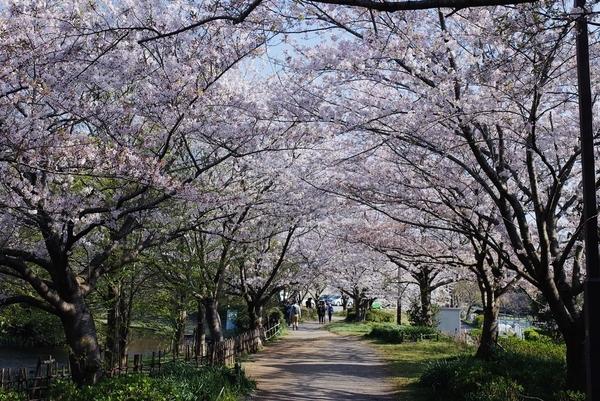 実籾本郷公園の桜のアーチ