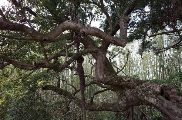 枝を横に伸ばすタブノキ