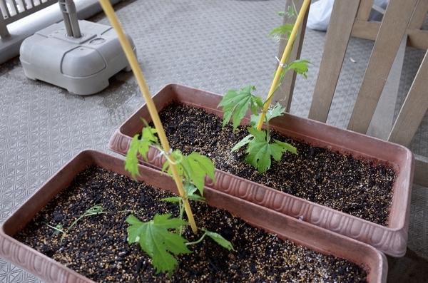 プランターに植えたゴーヤの苗二本