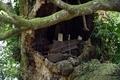 幹上部樹洞の人工物