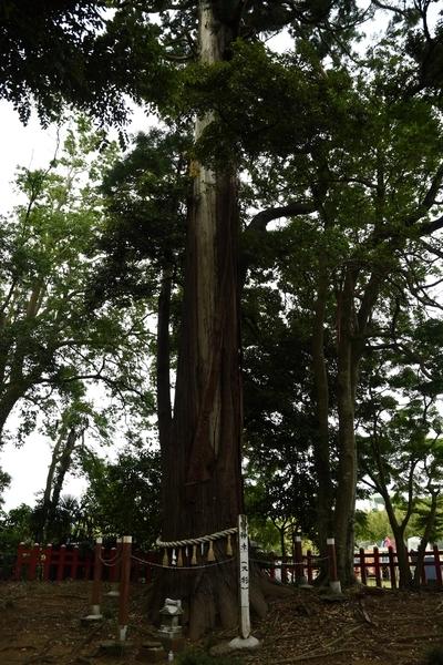 船方麻賀多神社奥院の大杉