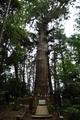 台方麻賀多神社の大杉