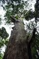 台方麻賀多神社の大杉を見上げる
