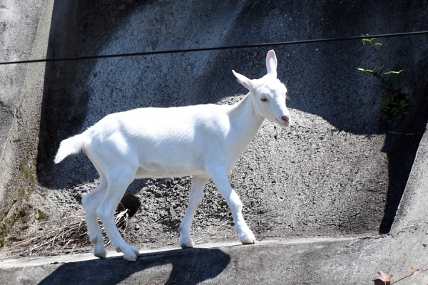 噂の羊のポニョ