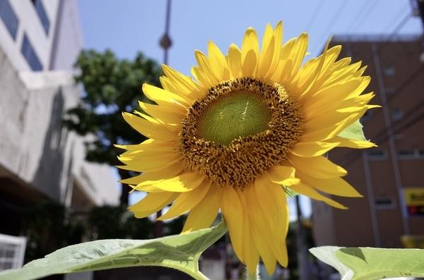 船橋の路地裏の向日葵