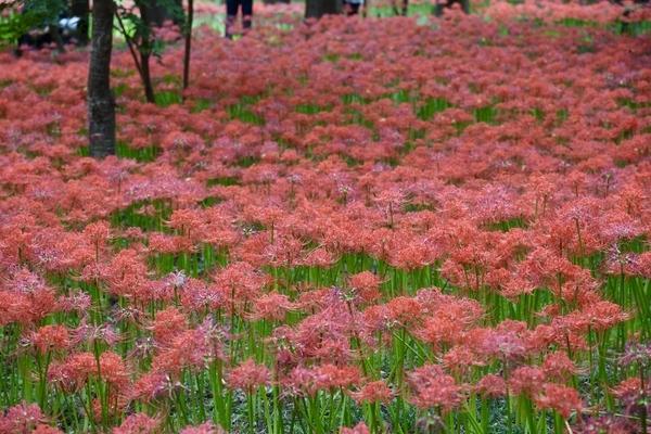 村上緑地公園の彼岸花(曼珠沙華)3
