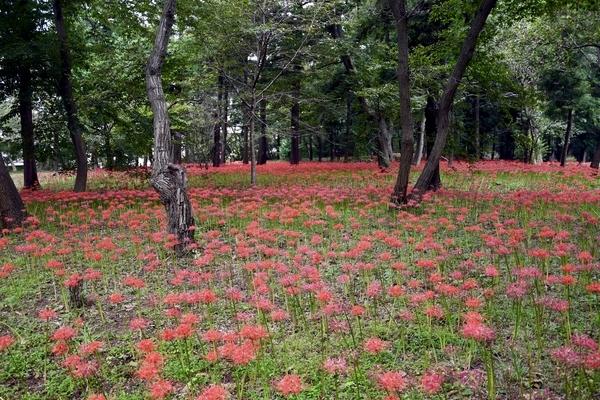 村上緑地公園の彼岸花(曼珠沙華)5