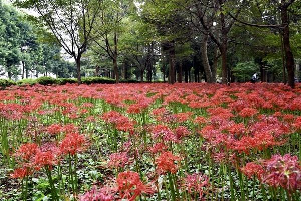 村上緑地公園の彼岸花(曼珠沙華)7