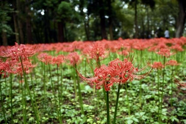 村上緑地公園の彼岸花(曼珠沙華)9