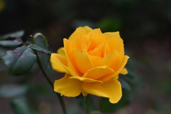 谷津バラ園の薔薇