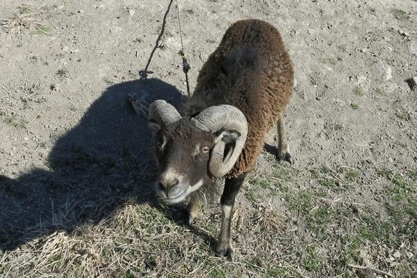 愛想のいい羊